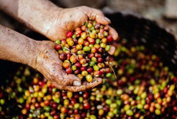 Lieferkettengesetz – Symbolbild: Hände, die Kaffeebohnen halten